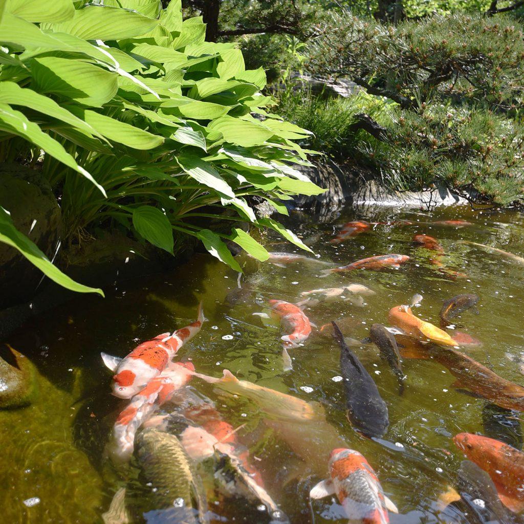 妙蔵寺の池の鯉