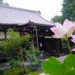 妙蔵寺 本堂前のハスの花