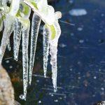 凍る植物の氷柱