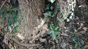 ナラ枯れの木、根元に木の粉が積もっている