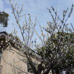 休憩室横の梅の花