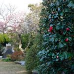 本堂前の庭のツバキ