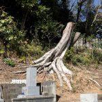 墓地の崖の樹木