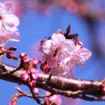 早咲きの桜とアブ