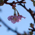 雨の後の桜の花