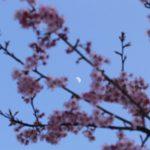早咲きの桜の向こうに月