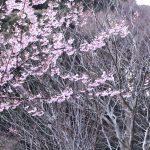 早咲きの桜とまだ冬の樹木