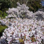 中庭の桜 2021年3月
