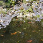中庭の桜とコイ 2021年3月