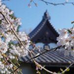 桜と本堂 2021年3月