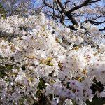 満開の桜 2021年3月