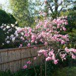 池の桜 2021年3月