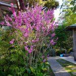 ピンクの花 2021年3月