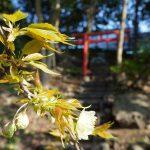 鳥居と桜 2021年3月