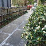 ジンチョウゲの白い花 2021年3月