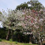 紅梅の桜 2021年3月