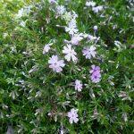 紫の花 2021年3月