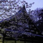 夜景の桜 2021年3月