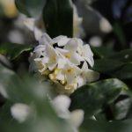 ジンチョウゲの花 2021年3月
