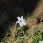 ハナニラの白い花 2021年3月