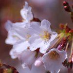 桜の花 2021年3月