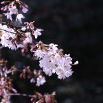 桜 2021年3月