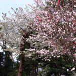 紅白の花 2021年3月