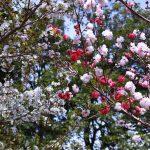 紅白の八重桜 2021年3月