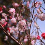 八重桜 2021年3月