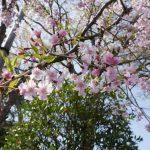 桜 2021年4月の写真