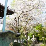 本堂横の桜 2021年4月の写真