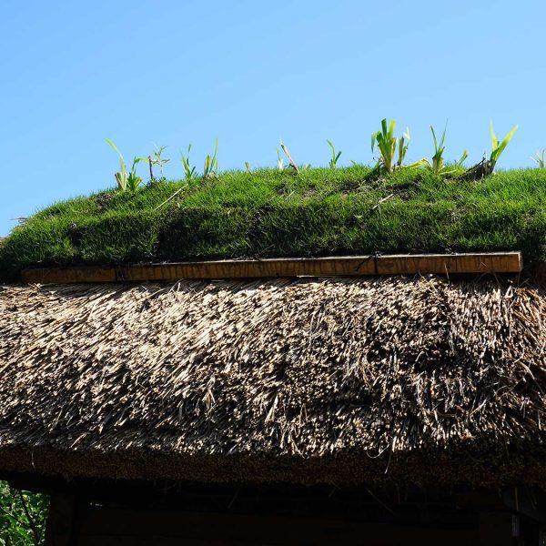 茅葺屋根の上の芝棟