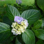 小さめのうす紫色のアジサイ