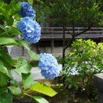 本堂と青いアジサイ