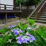 本堂脇の紫色のアジサイ