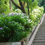 本堂横の階段とさまざまな色のアジサイ