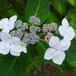 甘茶の白い花