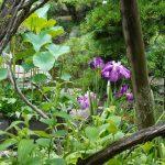 紫色のショウブの花