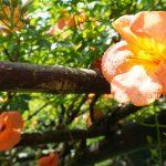 水滴のついたノウゼンカズラの花